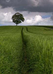 bigstockphoto_Field_Of_Barley_106008